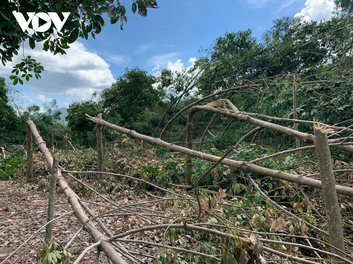 Hơn 700 ha cao su ở xã Phong Mỹ gãy đổ sau bão số 5.