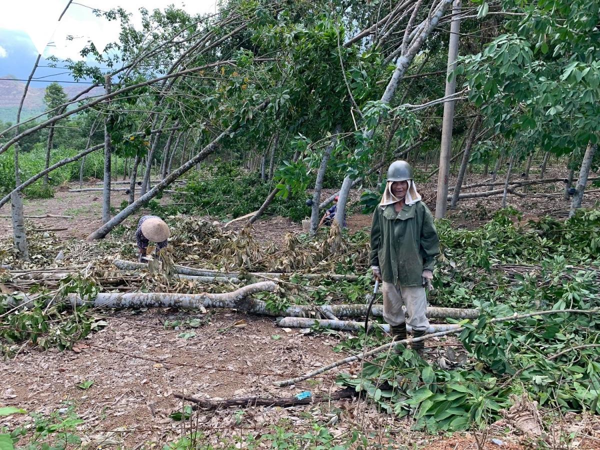 Người dân chặt dọn cao su gãy đổ sau bão số 5.