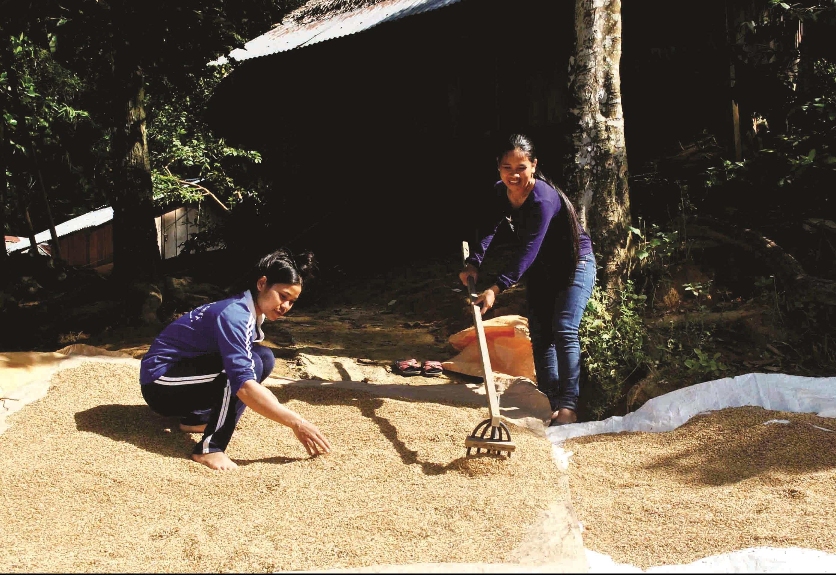 Giống lúa của đồng bào Cơ Tu góp phần tạo nên các loại nông sản đặc trưng của xã Zuôih