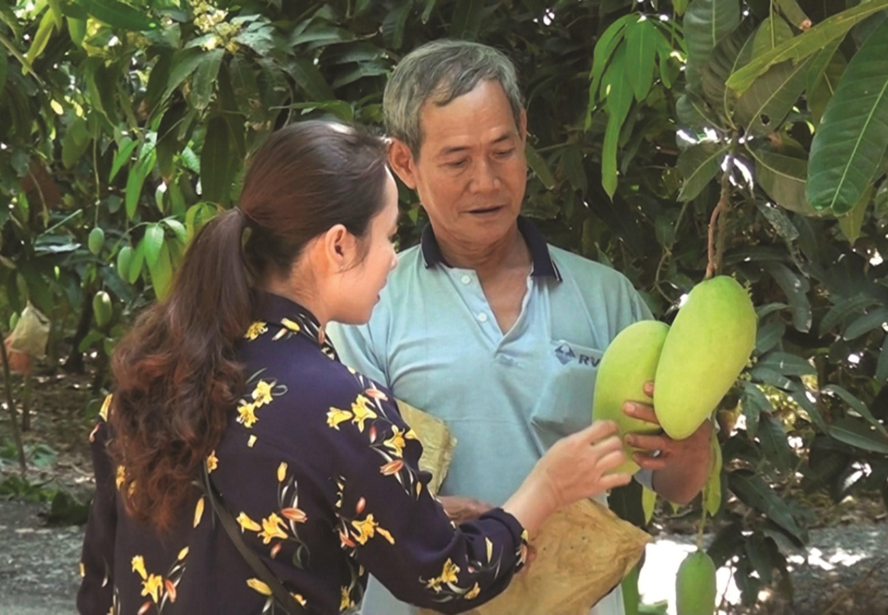 Ông Chau An, xã Núi Tô, huyện Tịnh Biên chăm sóc vườn xoài thanh ca trồng trên Núi Tô đã giúp gia đình ông có thu nhập cao