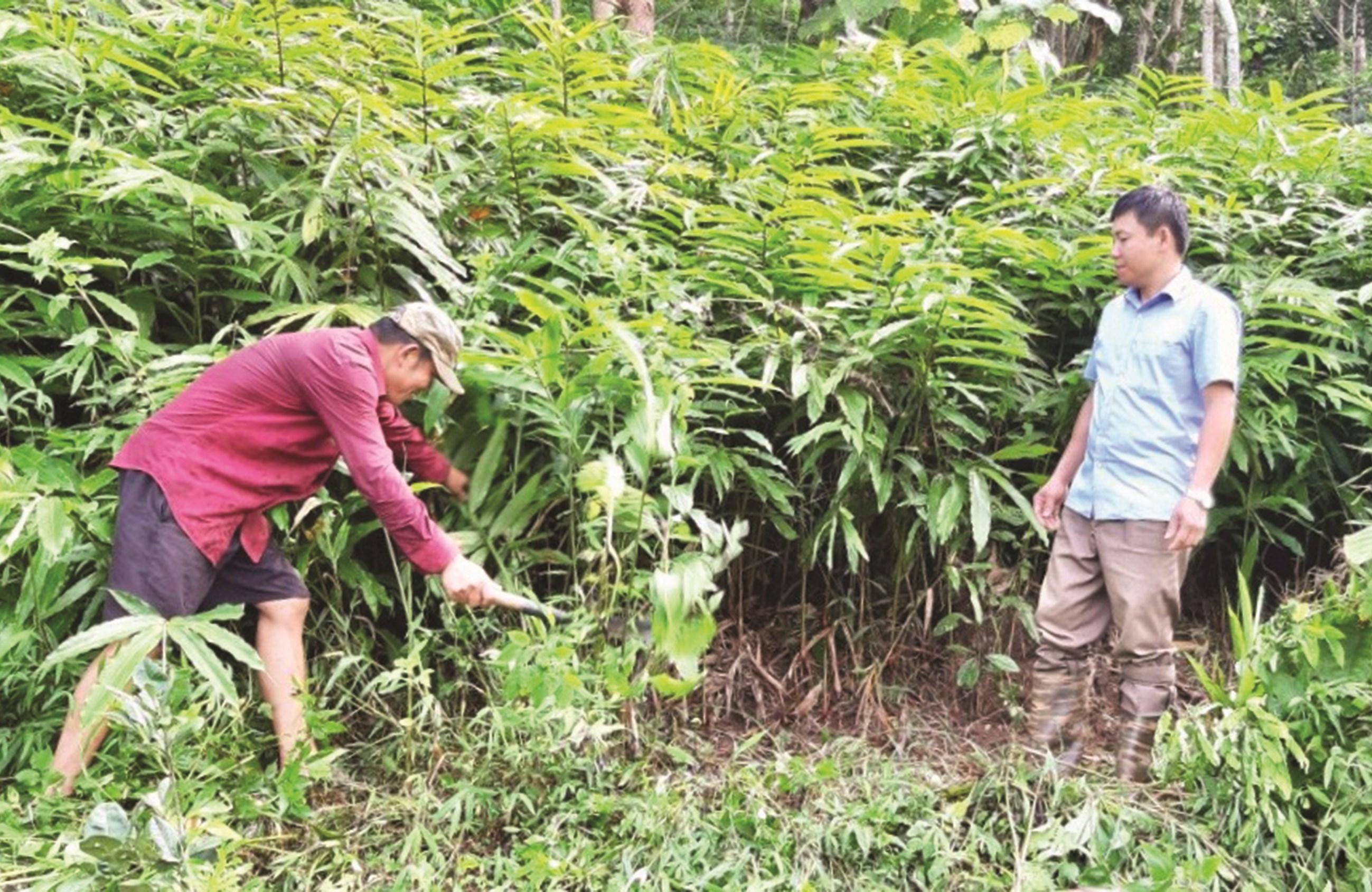Mô hình trồng cây sa nhân dưới tán rừng tại xã Chà Nưa, huyện Nậm Pồ (Điện Biên) đem lại hiệu quả kinh tế cho người dân.