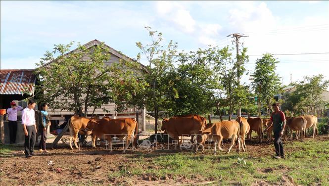 Nhờ nguồn vốn chính sách xã hội, gia đình chị Rơ Châm H'Ốp (Chinh Đơn 2, xã Ia Mlá, huyện Krông Pa, Gia Lai) đã phát triển được đàn bò 11 con. Ảnh: Hoài Nam/TTXVN