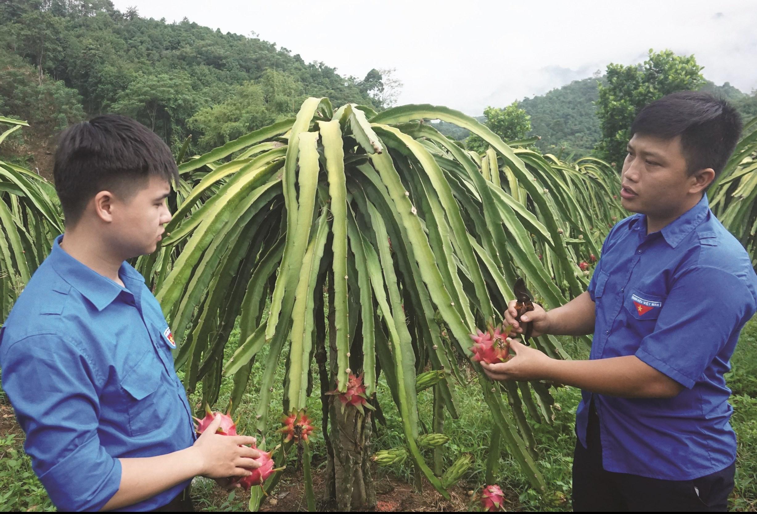 Mô hình trồng thanh long ruột đỏ Đài Loan của anh Phạm Duy Khánh (bên phải) cho năng suất cao