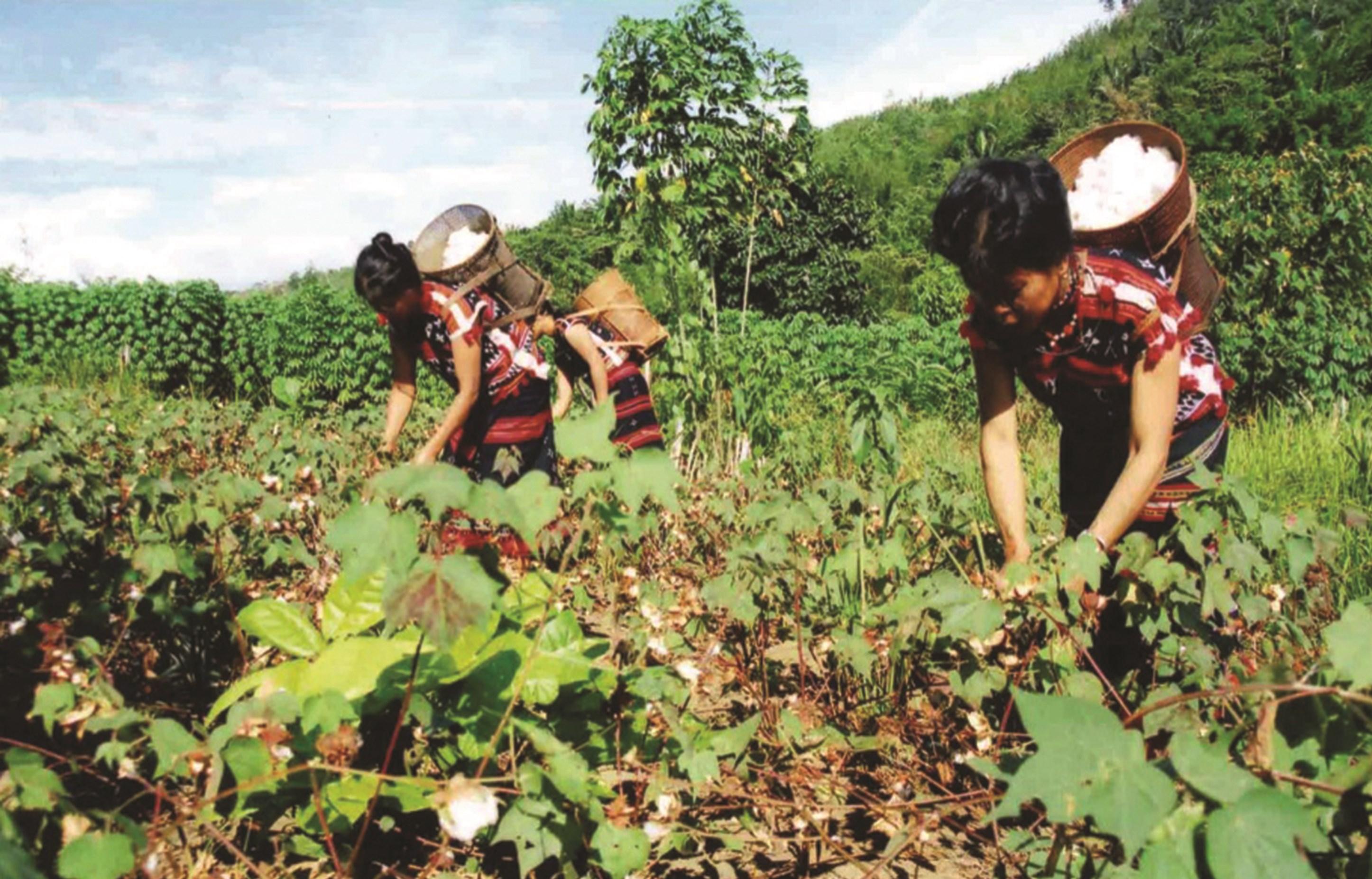 Công đoạn thu hoạch bông, đến công đoạn bật bông, xe bông, kéo sợi và dệt thổ cẩm ở làng Công Dồn