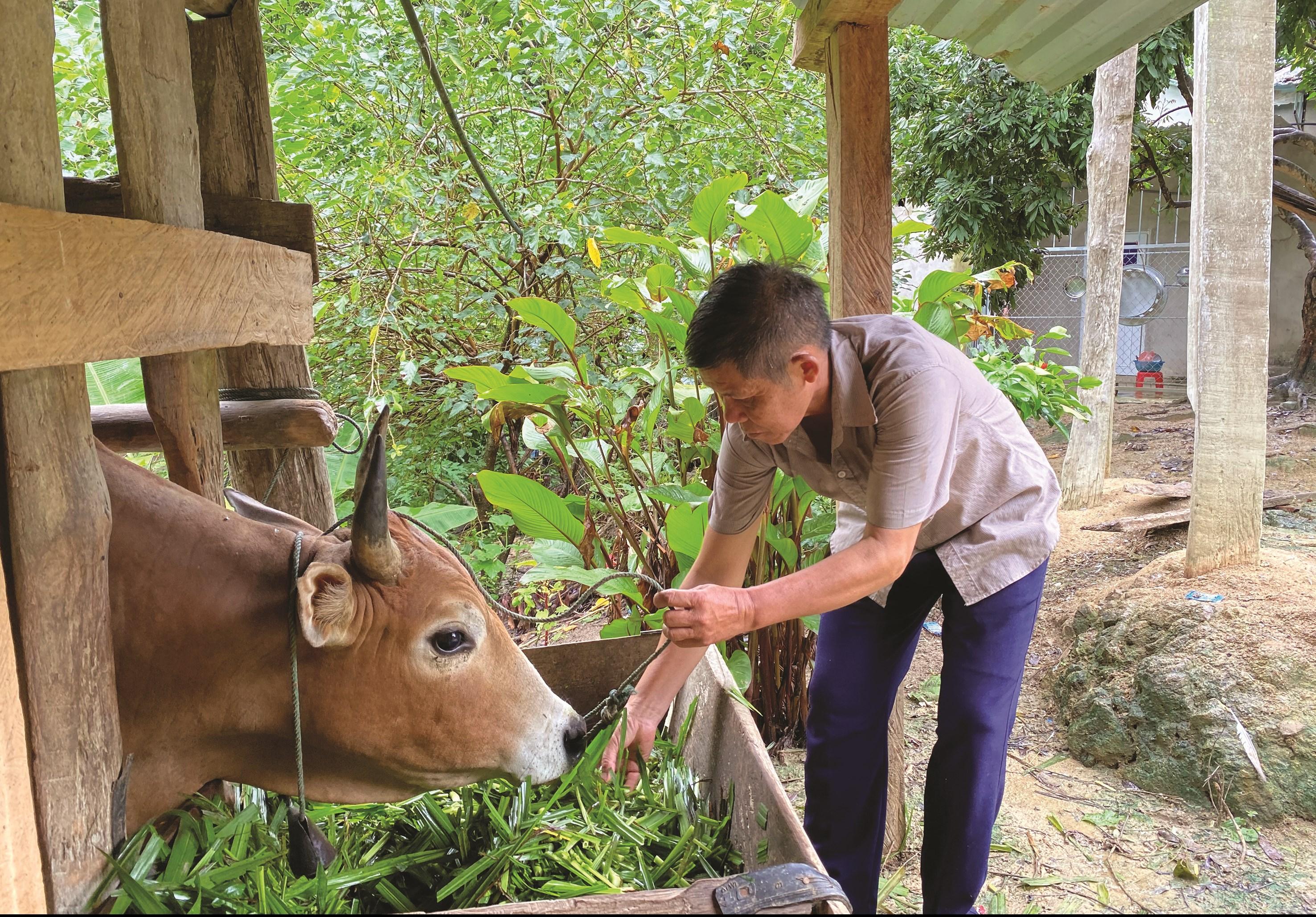 Trưởng bản Lưu Thông Vừ Giồng Nanh gương mẫu nuôi nhốt trâu bò