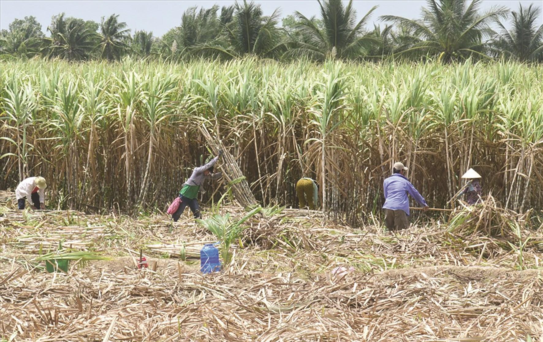 """Đồng bào Khmer huyện Trà Cú sinh sống bằng nghề trồng mía, nhưng nhiều hộ đã bị """"lừa"""" mất đất sản xuất."""