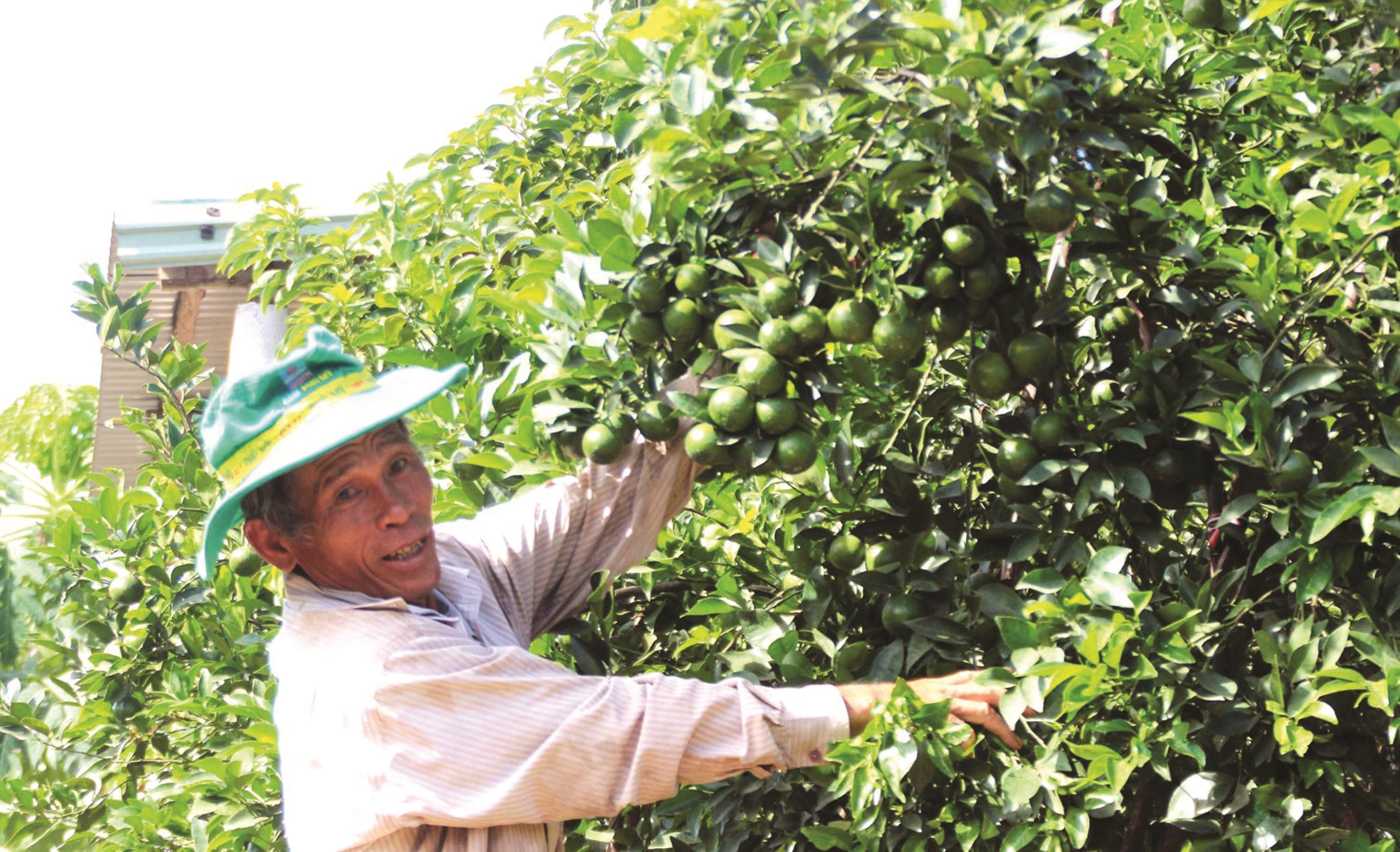 Lão nông Phạm Đình Độ với vườn quýt cho thu nhập hàng trăm triệu đồng.