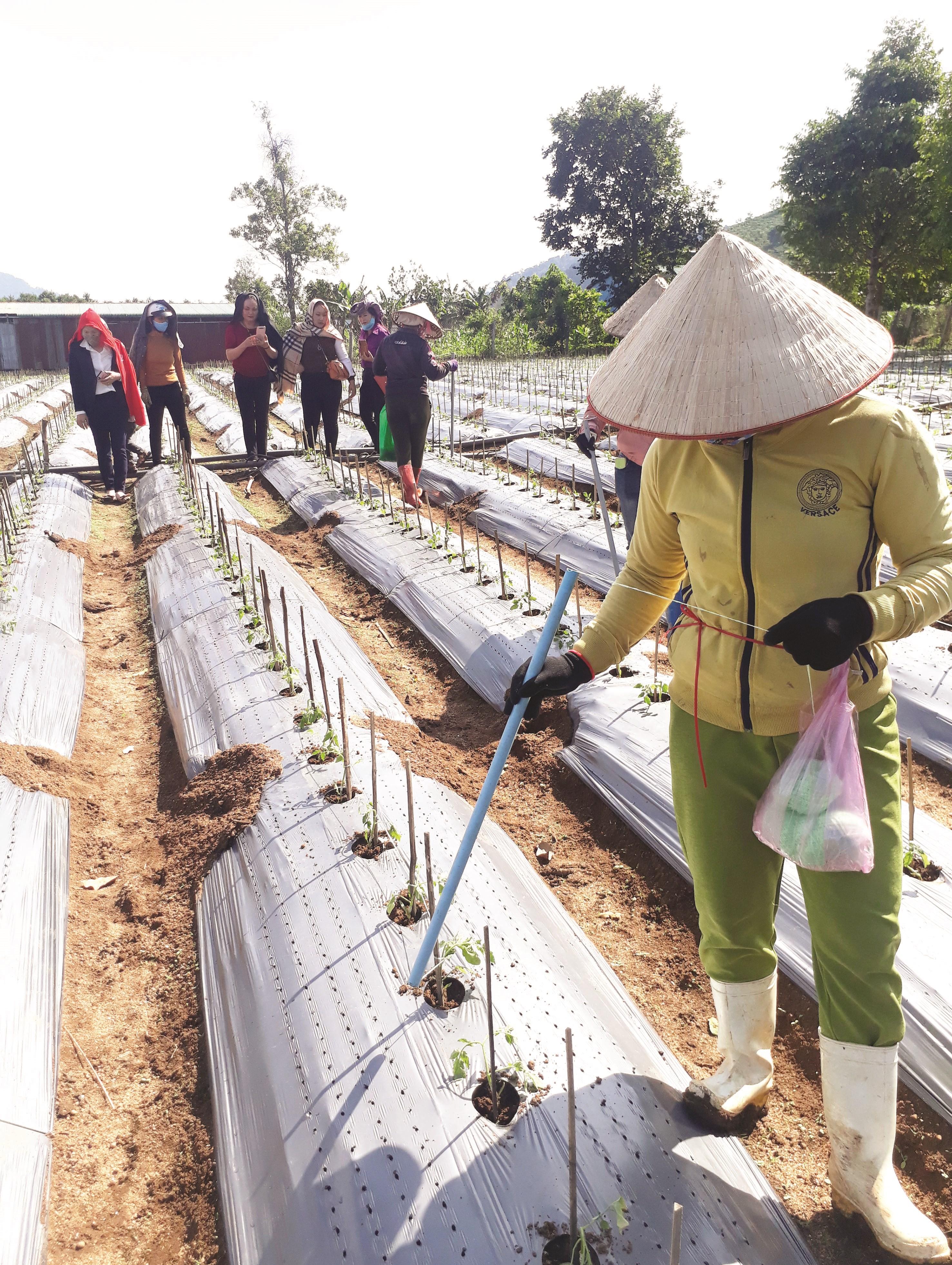 Người lao động của HTX chuối Laba Đạ K'nàng đang chăm sóc vườn ươm giống