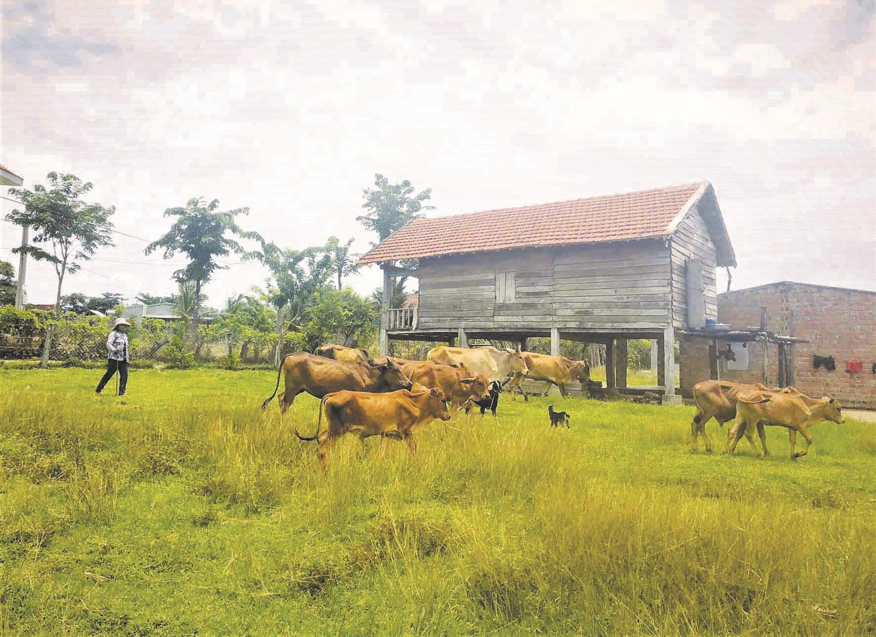 Nhờ được hỗ trợ vốn, nhiều hộ dân ở Krông Pa đầu tư nuôi bò hiệu quả và nhanh chóng thoát nghèo.