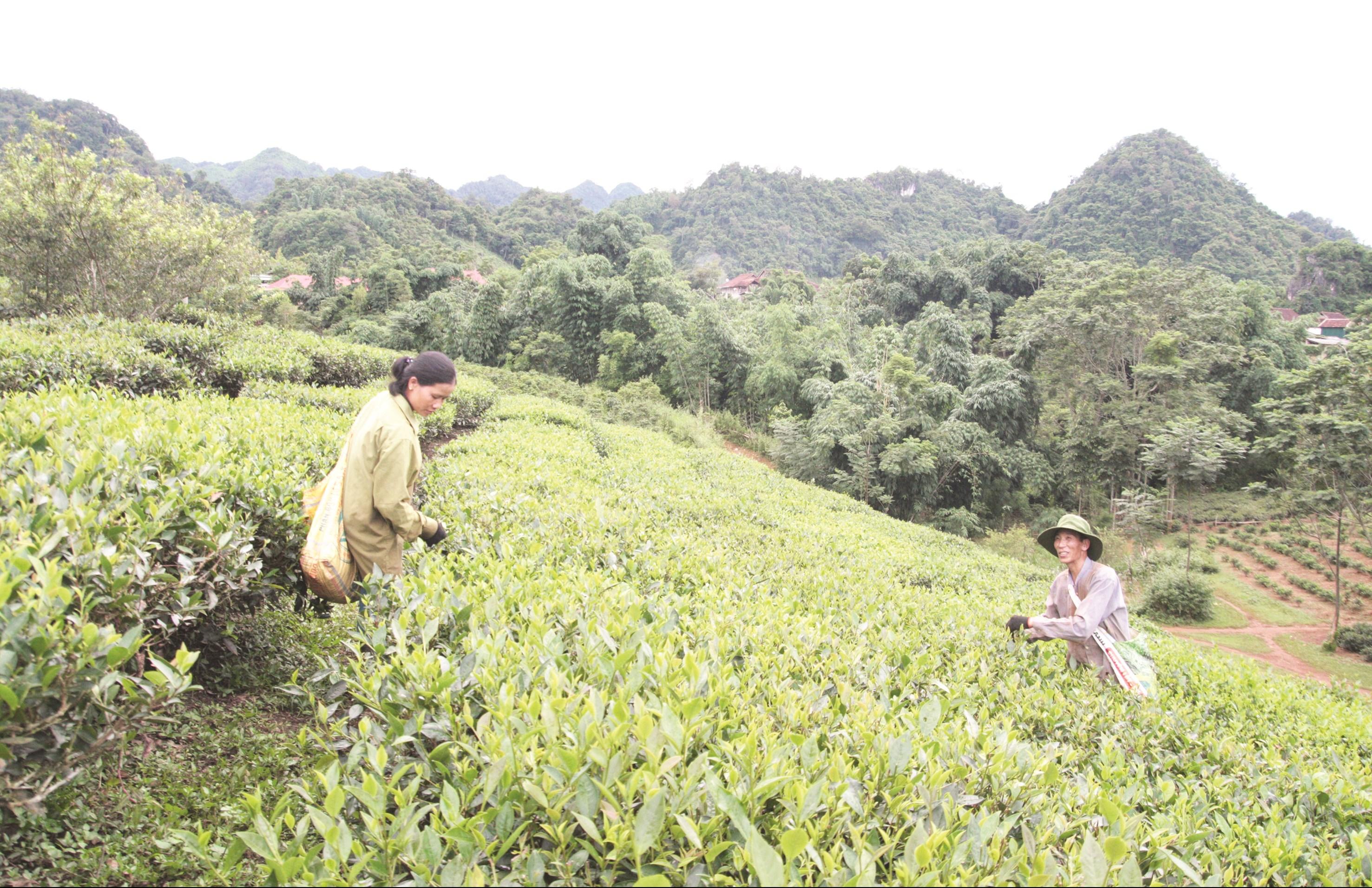 Nhờ các dự án hỗ trợ phát triển sản xuất đã giúp người dân có sinh kế ổn định. (Trong ảnh: Người dân ở bản Quỳnh Châu, xã Phổng Lái, huyện Thuận Châu thu hái chè).
