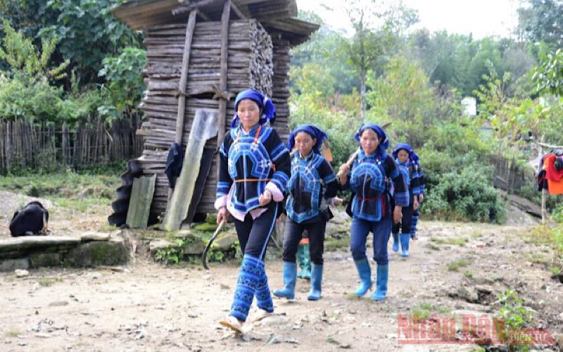 Đồng bào dân tộc Hà Nhì ở xã Ý Tý (Bát Xát- Lào Cai) đi thu hoạch sâm đất