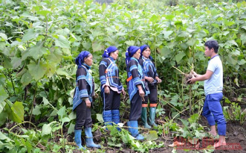 Cán bộ khuyến nông xã hướng dẫn bà con dân tộc Hà Nhì cách thu hoạch sâm đất bảo đảm năng suất và chất lượng tốt.