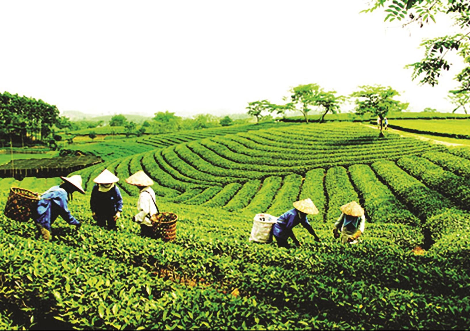 Cây chè tiếp tục khẳng định là cây trồng thế mạnh của tỉnh