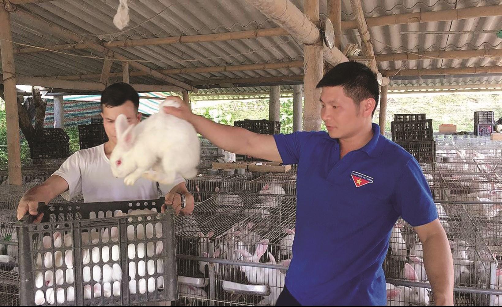 Thỏ thương phẩm của HTX thanh niên Lâm Thượng có đầu ra ổn định.