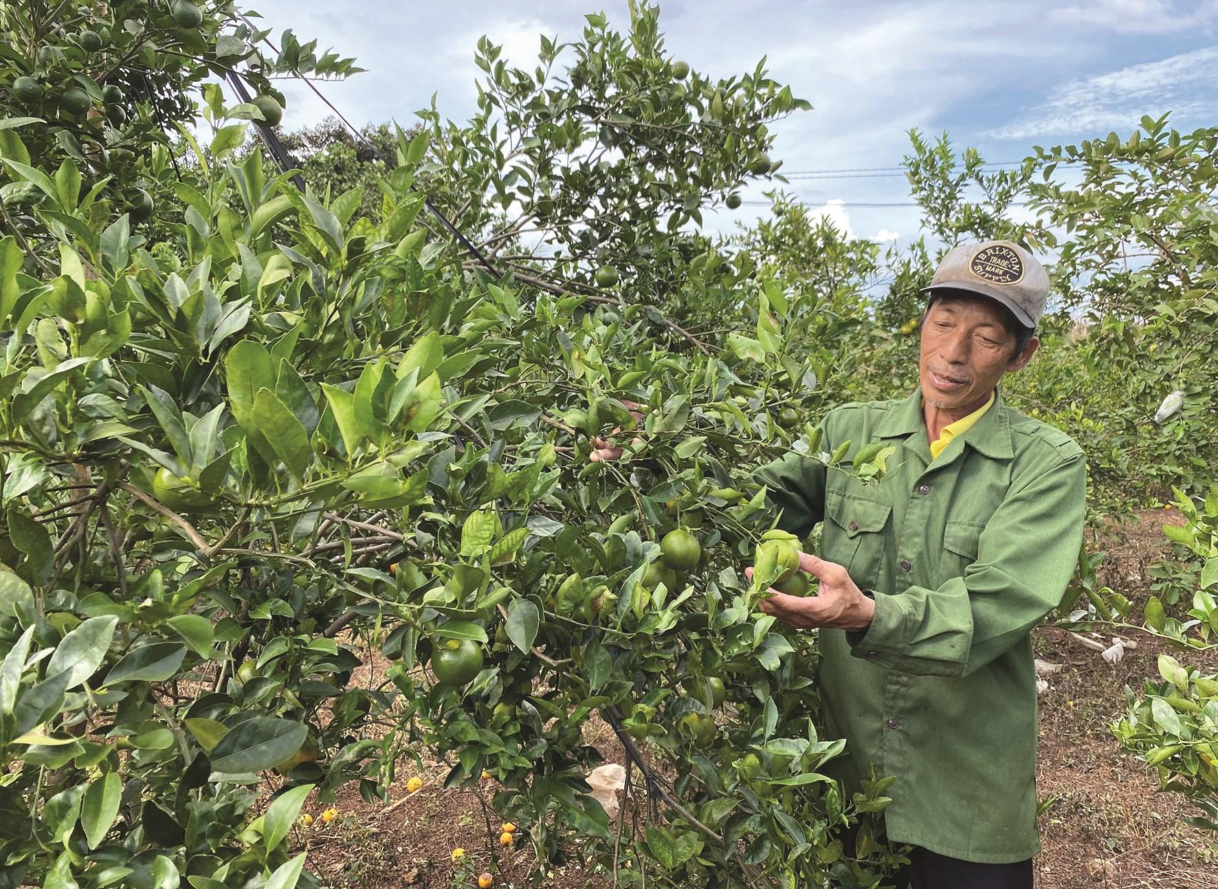 Ông Nông Văn Luyện đang chăm sóc cây quýt đường.
