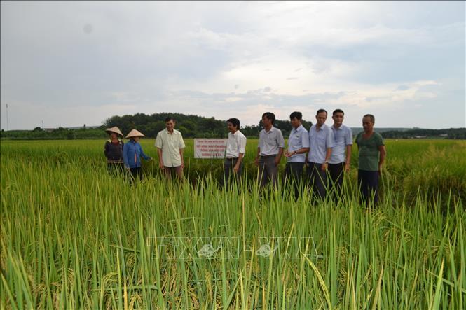 Chính quyền địa phương cùng người dân tham quan cánh đồng lúa ST24 tại xã Hưng Phước, huyện Bù Đốp.