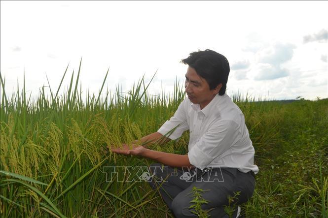 Cánh đồng lúa ST24 tại xã Hưng Phước, huyện Bù Đốp, Bình Phước.