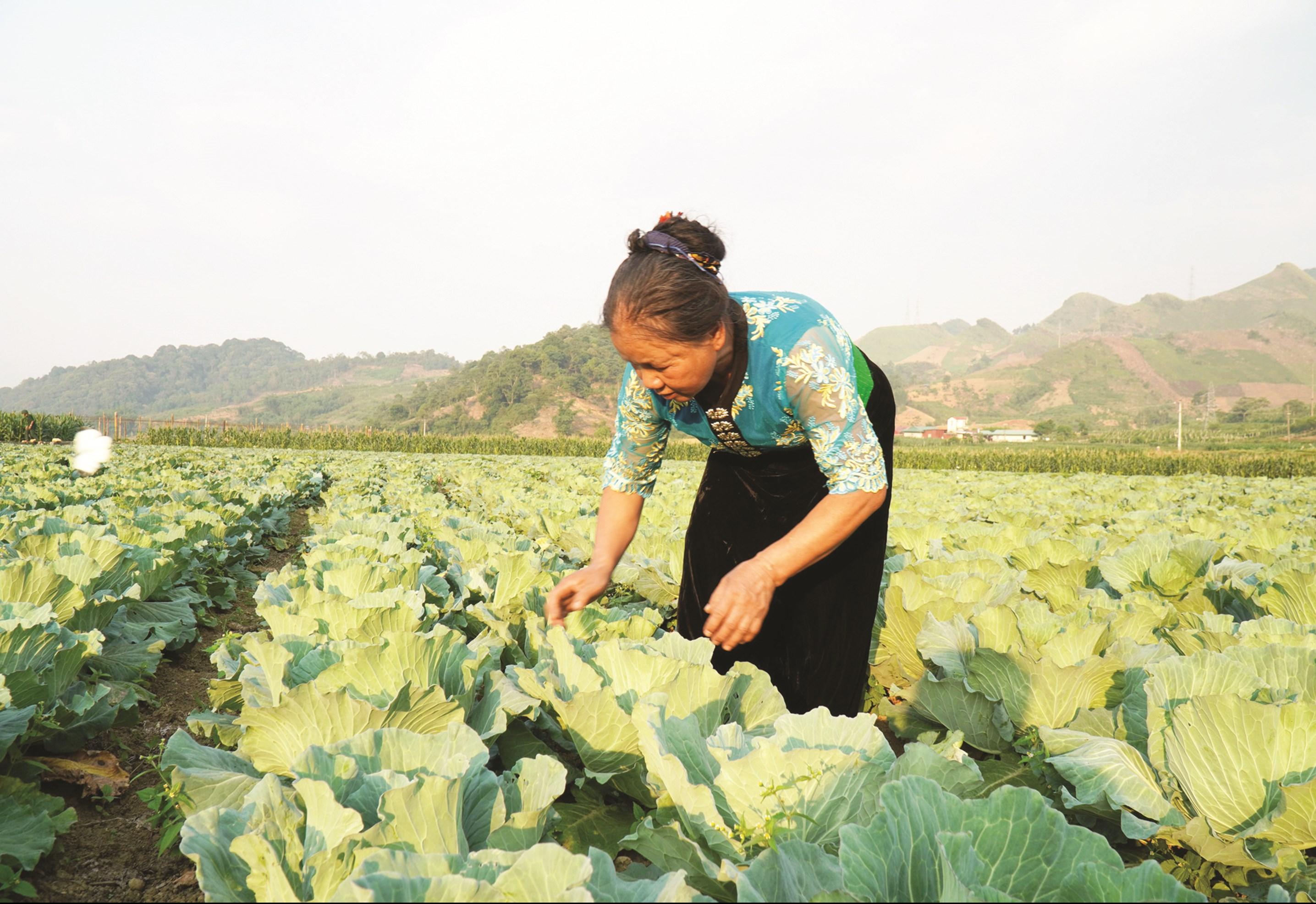Đồng bào DTTS ở khu vực miền núi phía Bắc đã tiếp cận phương thức sản xuất hàng hóa. (Trong ảnh: Sản phẩm rau sạch của Hợp tác xã trồng rau an toàn Vân Hồ, Sơn La)