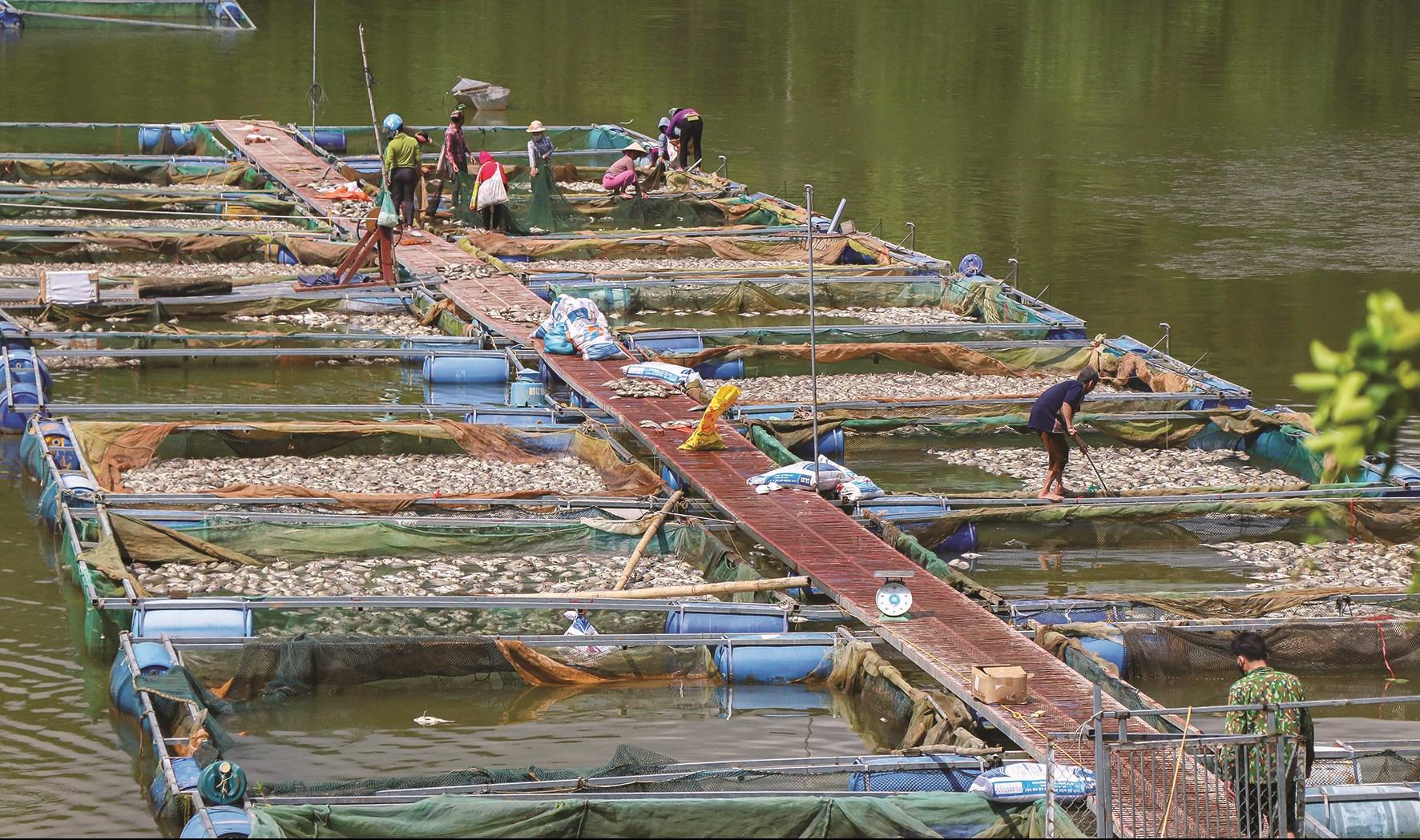 Gần 80 tấn cá lồng trên hồ Hồng Khếnh bị chết hàng loạt.