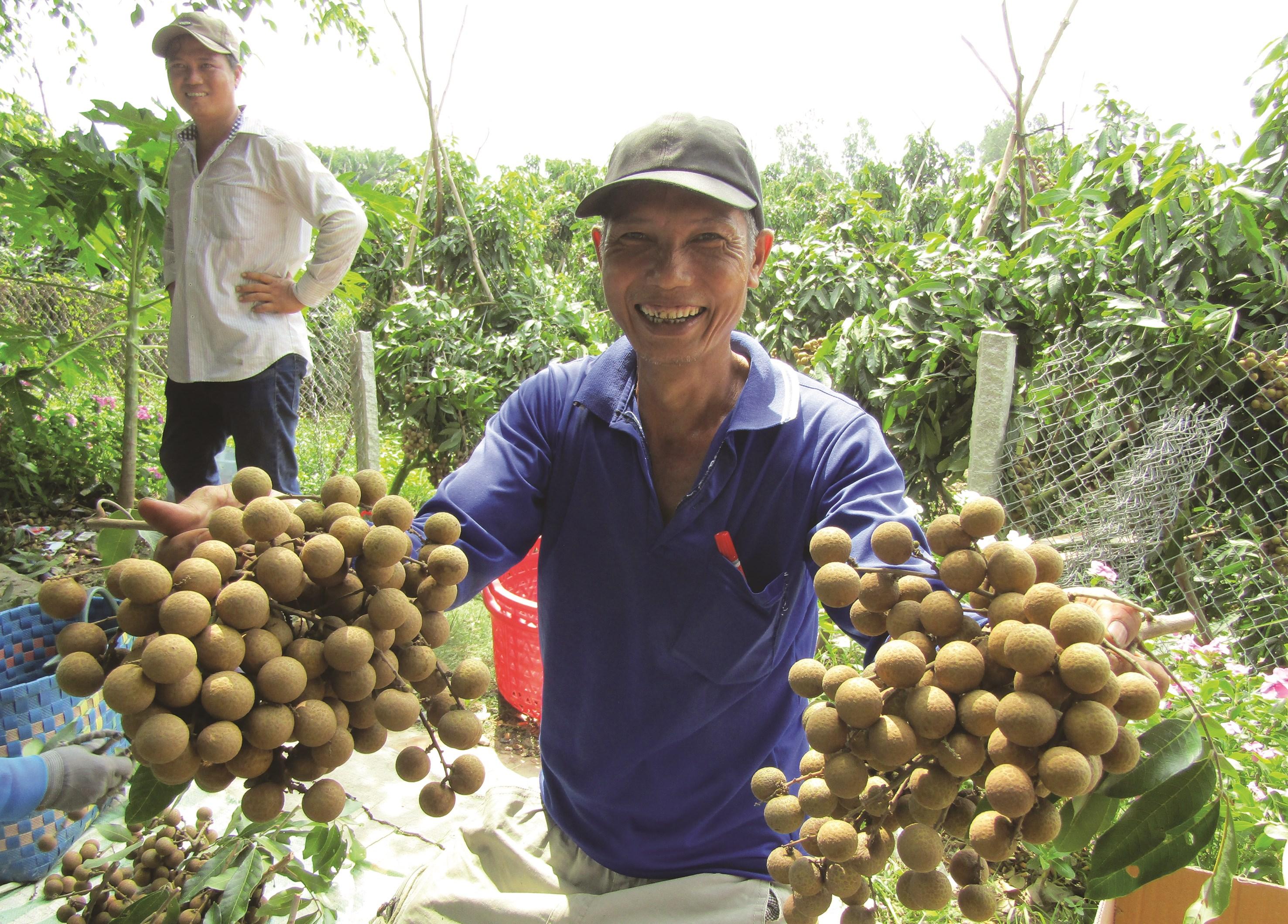 Người dân ấp Sóc Rừng thu hoạch nhãn Ido