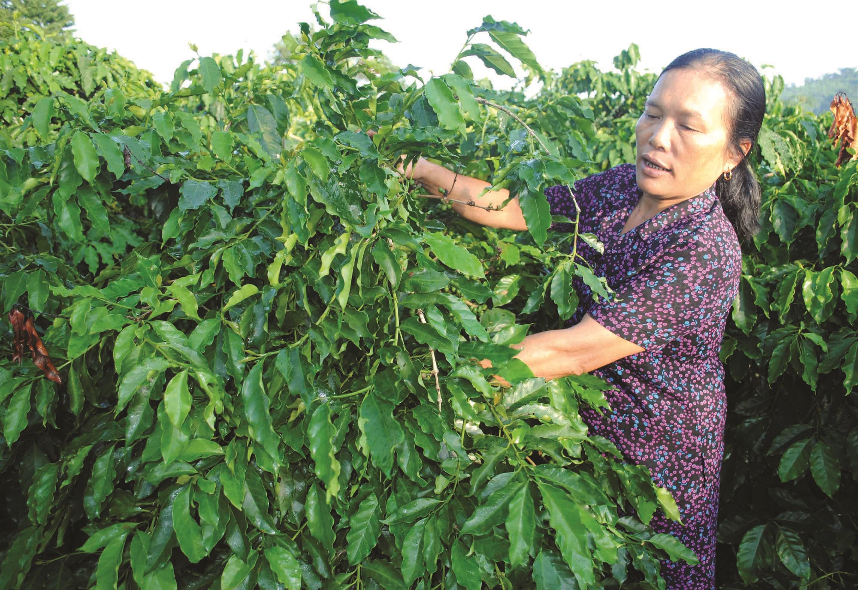 Nhờ được hỗ trợ vốn từ các chương trình, chính sách dân tộc người dân huyện Sông Hinh đầu tư trồng cây công nghiệp đạt năng suất cao