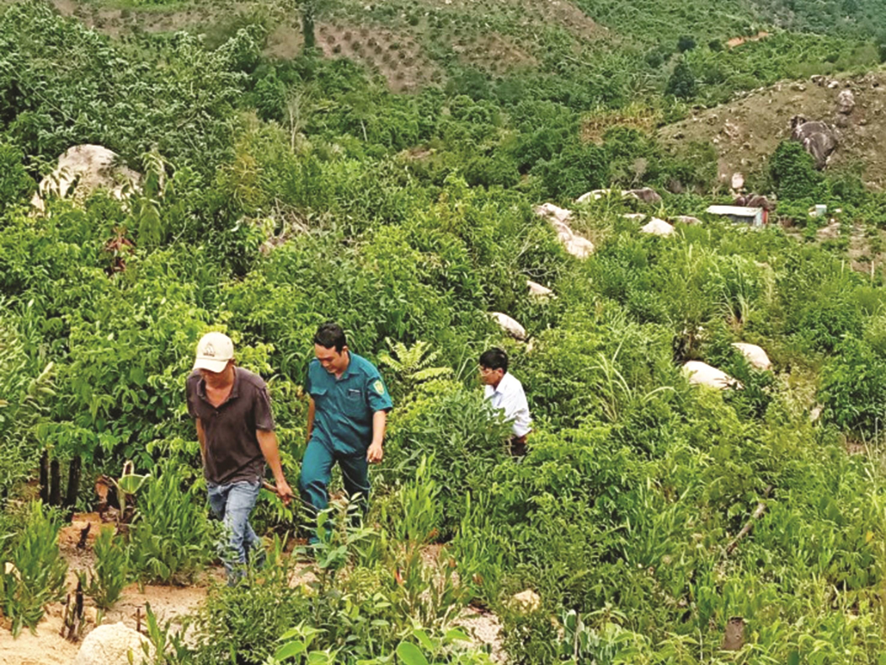 Nhiều khu rừng ở Cam Lâm, Khánh Hòa đã bị chặt phá, trồng cây hoa màu khác
