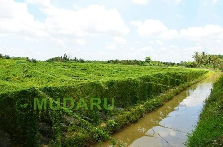 Viên Uống Mudaru - nâng tầm giá trị nông sản Việt
