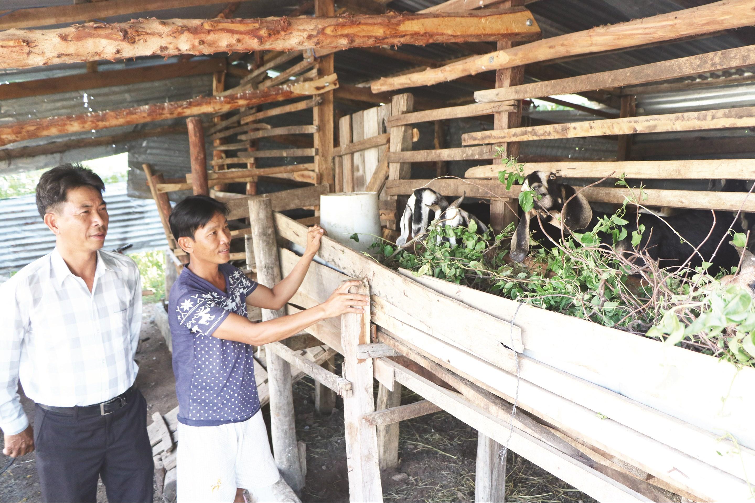 Mô hình nuôi dê sinh sản đã giúp các hộ dân phát triển kinh tế.