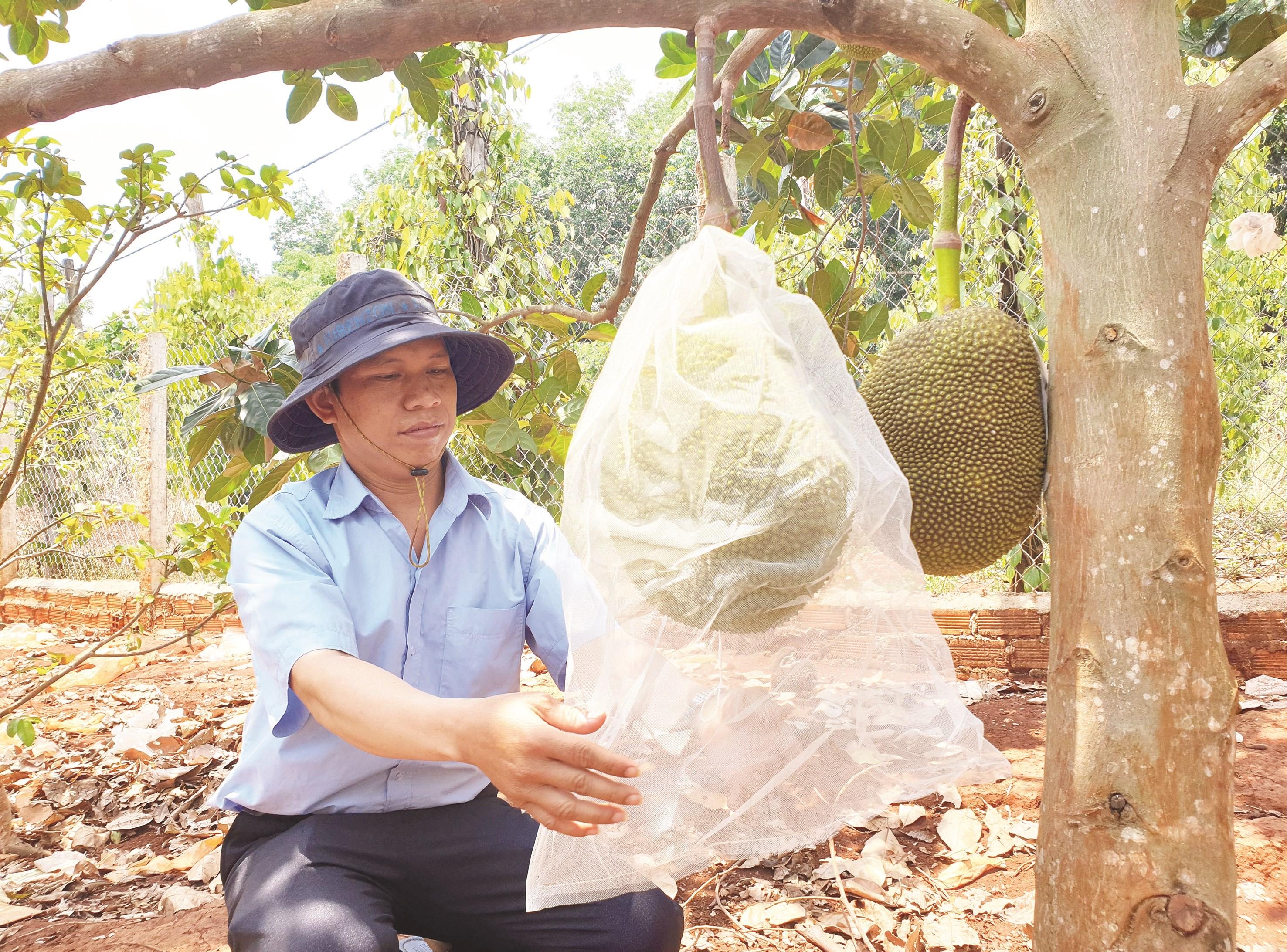 Với vườn cây ăn trái và thêm nguồn thu từ cây cao su, cà phê mỗi năm anh Kpă Meo mang về cho gia đình hơn 400 triệu đồng.