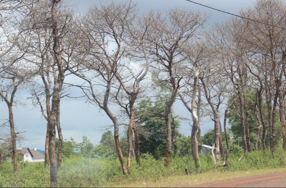 Hàng loạt diện tích rừng thông phòng hộ bị đầu độc chết