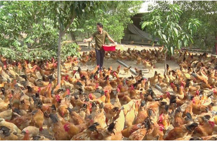 Mô hình nuôi gà thả vườn của gia đình anh Vũ Văn Bắc