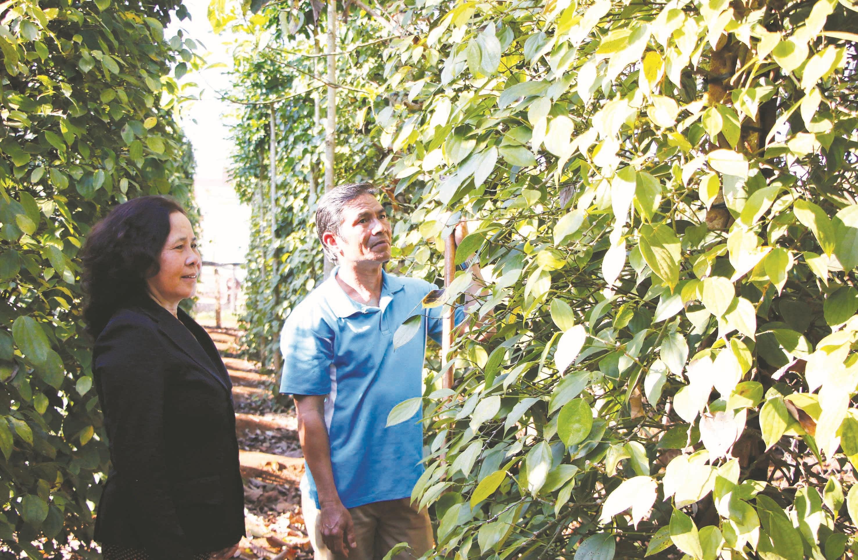 Già làng Y Hai chăm sóc vườn tiêu xanh tốt.