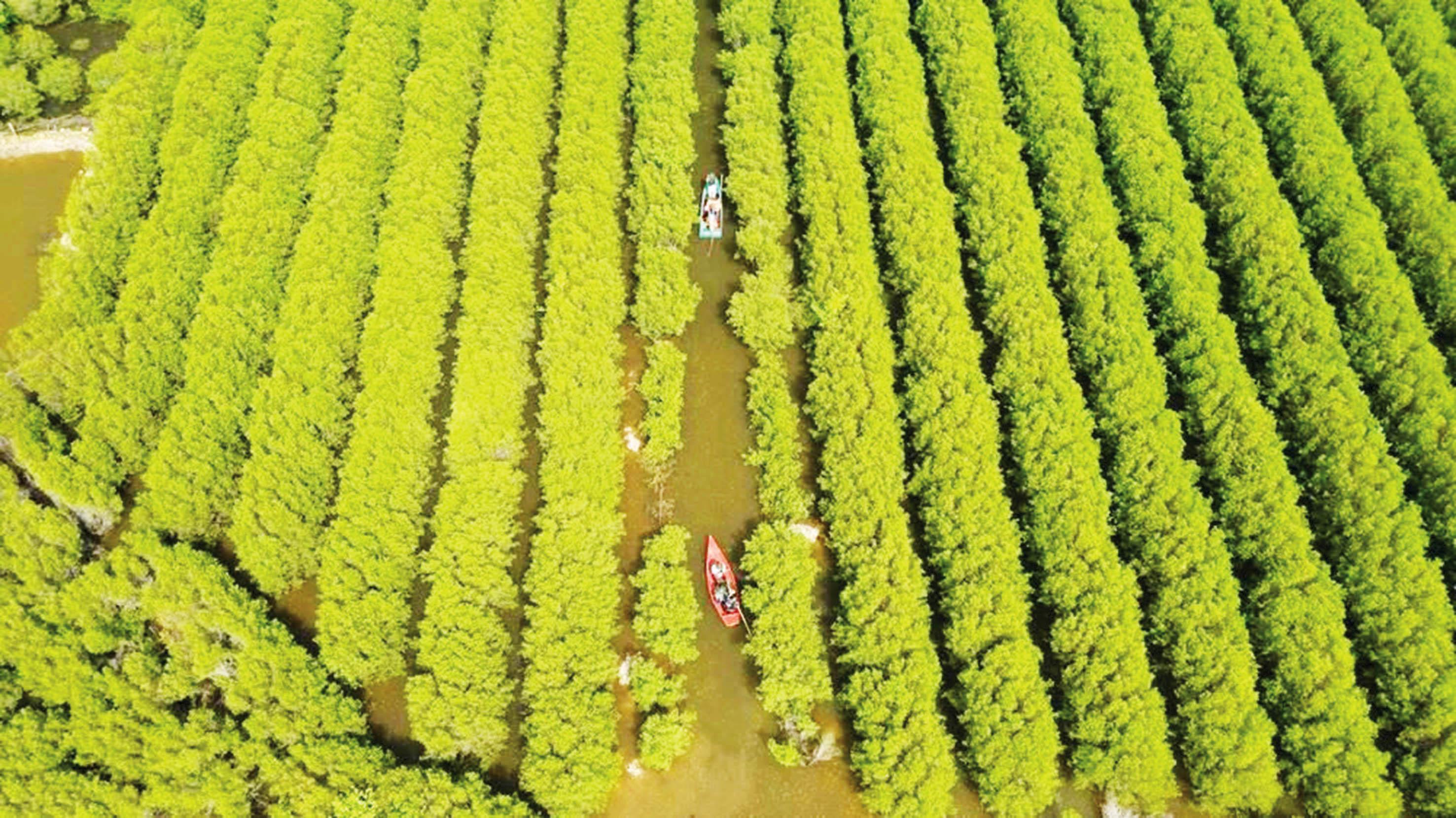 Cánh rừng ngập mặn bàu Cá Cái, hơn 80 ha trải dài tạo thành mảng xanh rộng lớn khi nhìn từ trên cao.