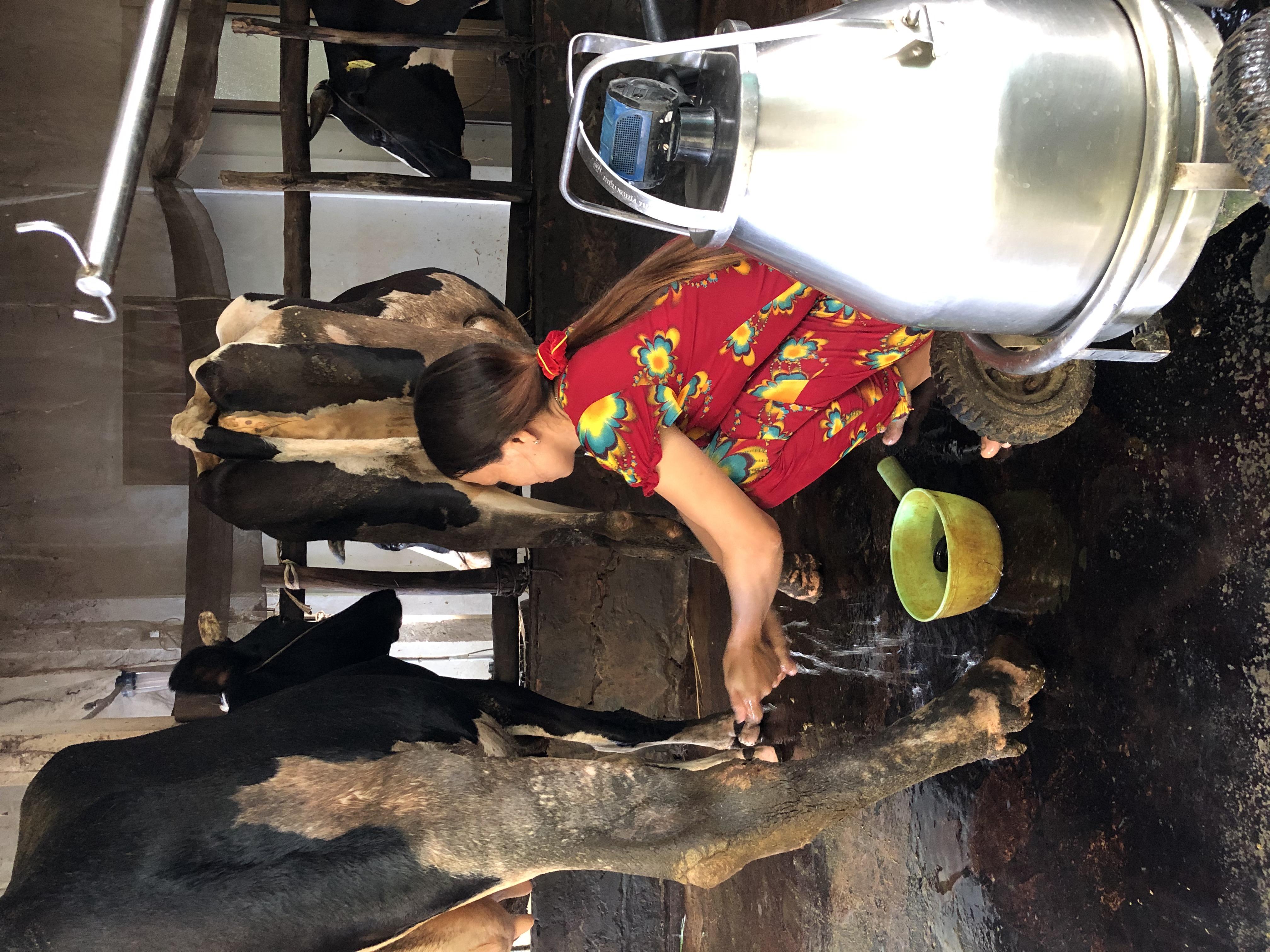 Quy trình lấy sữa từ bò