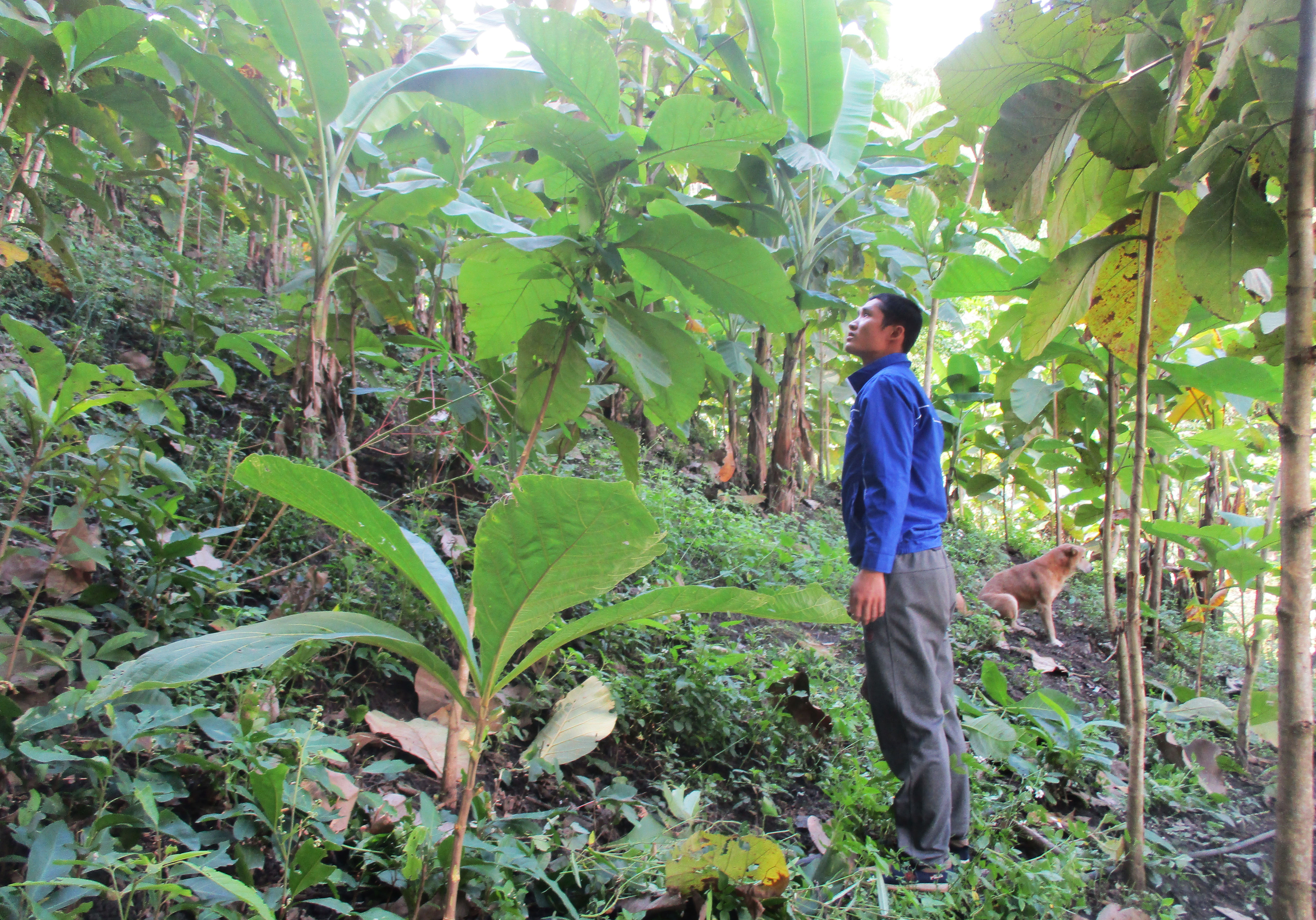 Anh Hà Văn Tình, dân tộc Thái ở bản Chiềng Cồng luôn dành phần lớn thời gian vào rừng chăm sóc cây