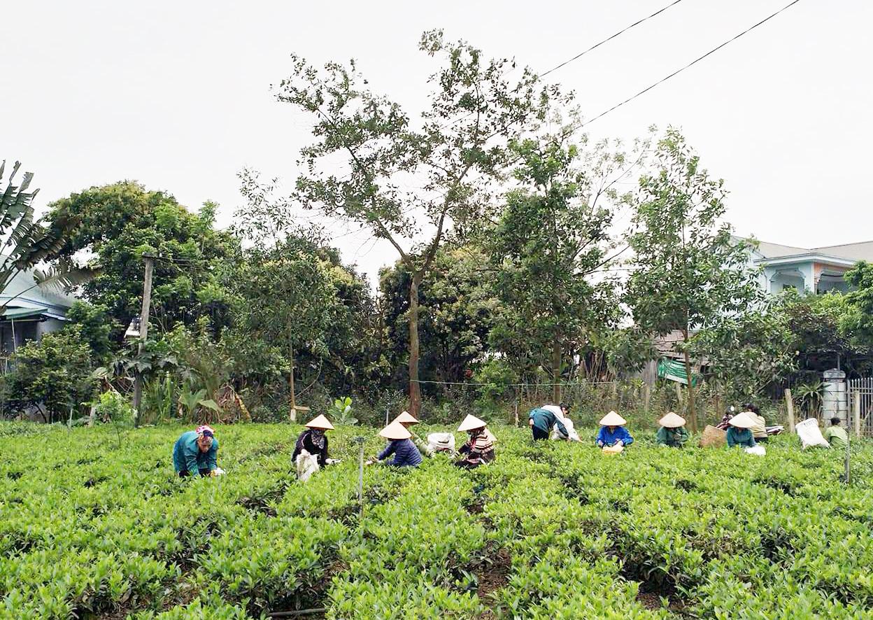 Người dân chăm sóc vườn chè ở Tuyên Quang