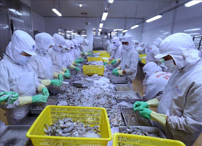 Dây chuyền chế biến tôm xuất khẩu tại nhà máy của Công ty Cổ phần thủy sản Minh Phú (Hậu Giang). Ảnh: Vũ Sinh/TTXVN