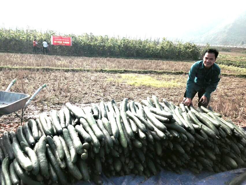 Quả bí đao xanh ở xã Văn Lang được trồng theo tiêu chuẩn VietGap.