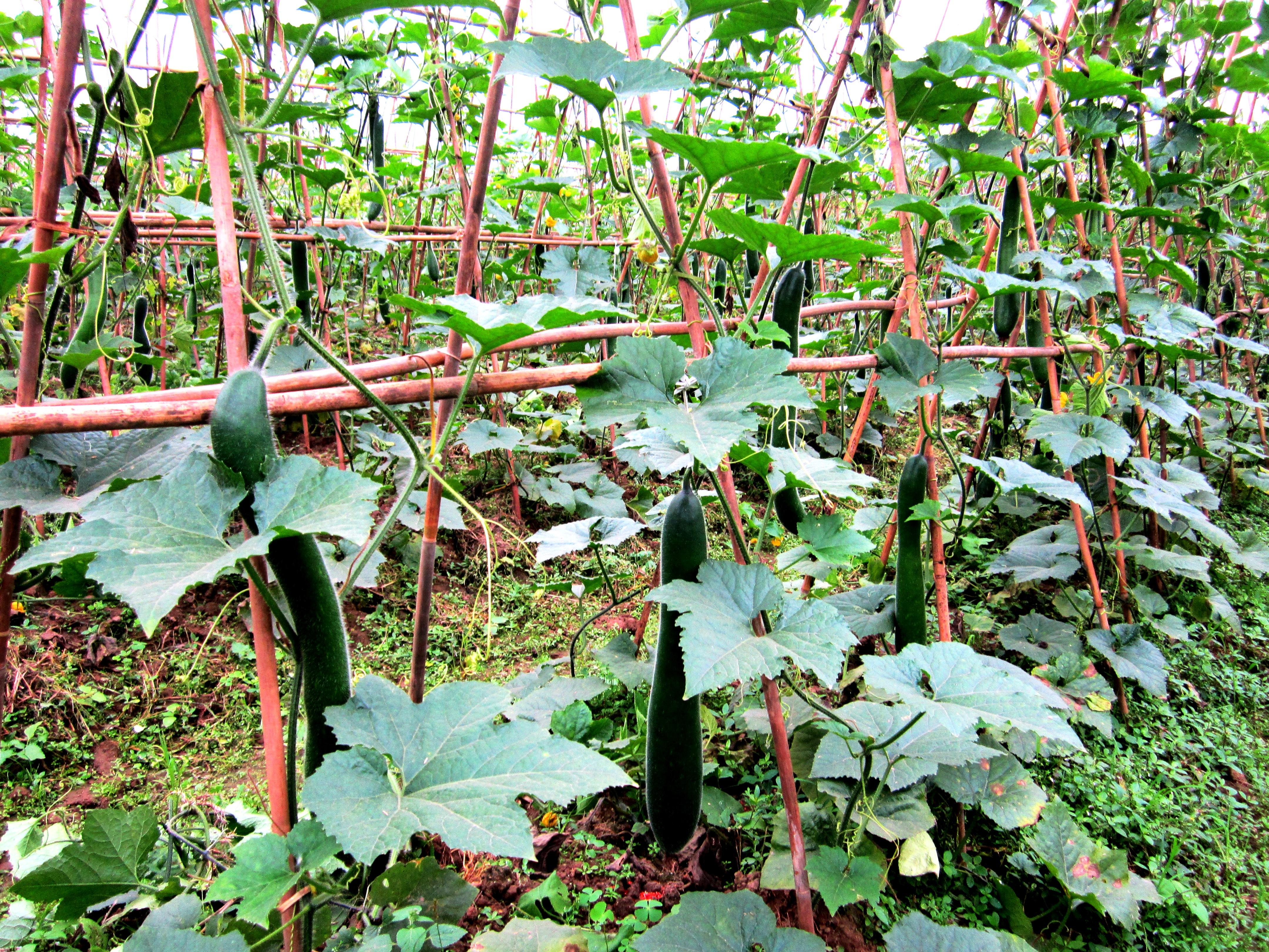 Bí đao xanh đã và đang mang lại thu nhập cao cho người nông dân ở xã Văn Lang.