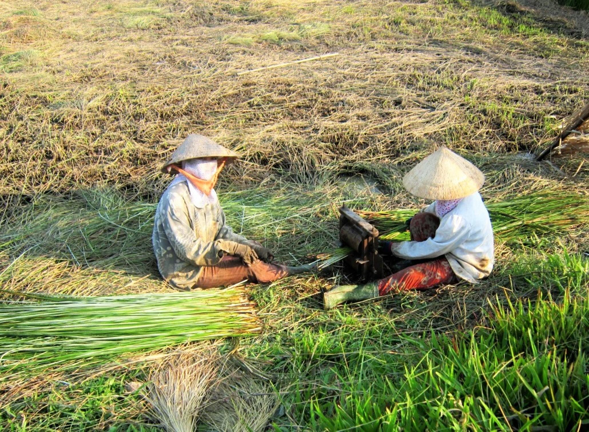 Người trồng lác ở làng nghề dệt chiếu Thành Thới B chẻ lác trước khi phơi.