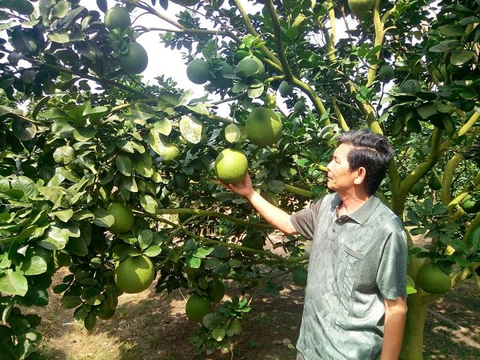 Ông Phạm Văn Ta đi thăm vườn bưởi của gia đình