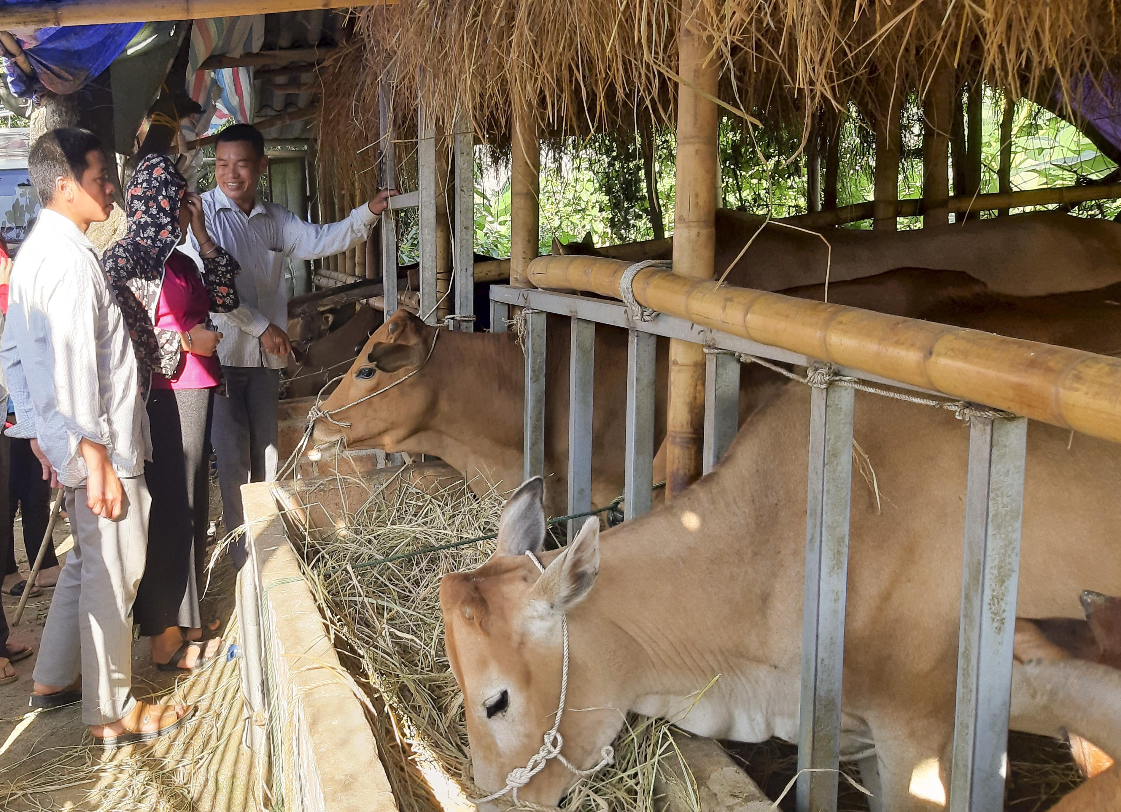 Mô hình nuôi bò sinh sản được triển khai hiệu quả tại nhiều địa phương trong tỉnh.