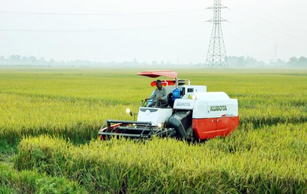 HTX nông nghiệp xã Ngũ Kiên hình thành vùng sản xuất lúa chất lượng cao. Ảnh: Tư liệu