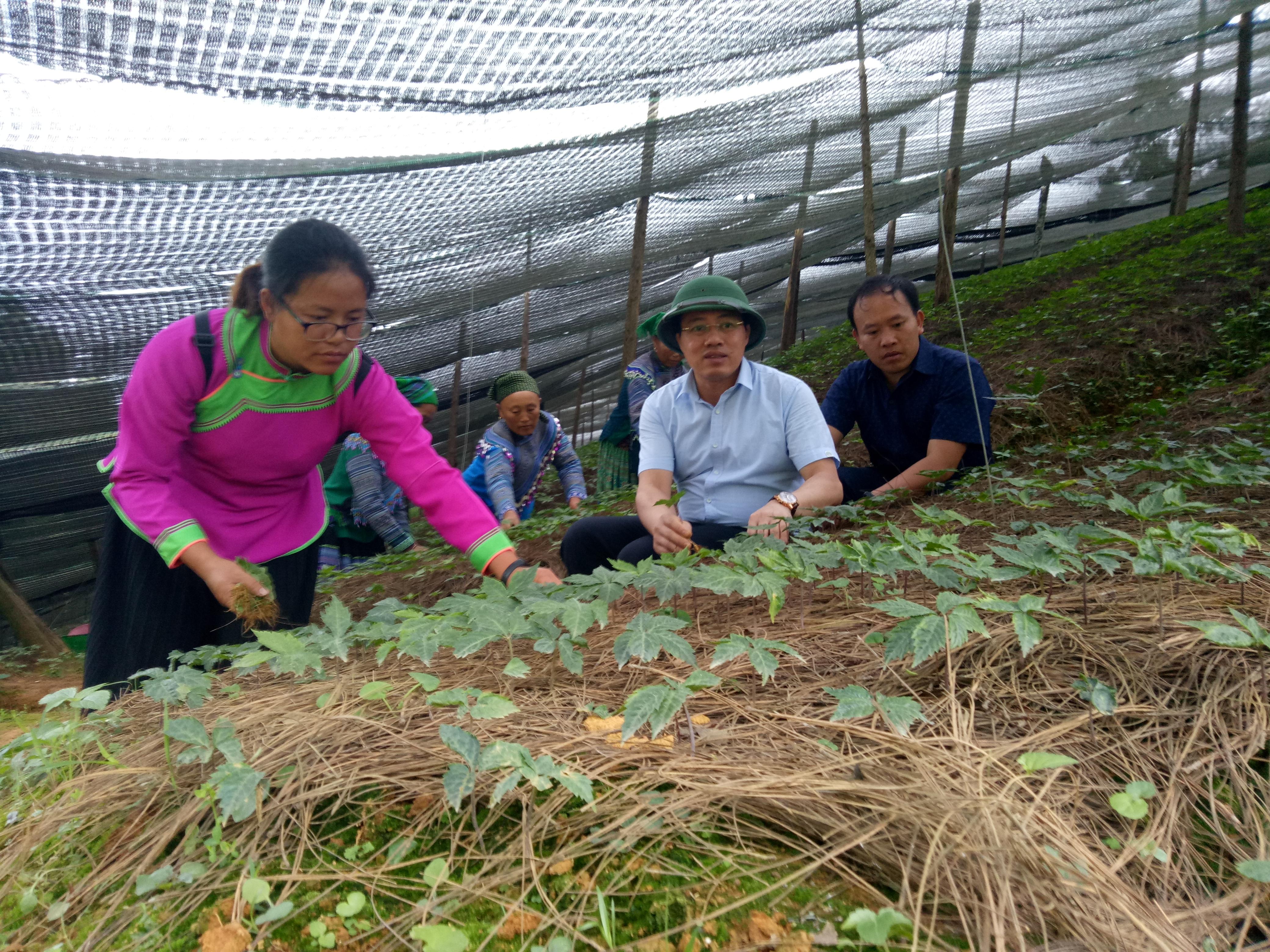 Cây tam thất nếu được trồng và chăm sóc đúng kỹ thuật mỗi héc ta có thể cho thu hoạch trên 1 tỷ đồng