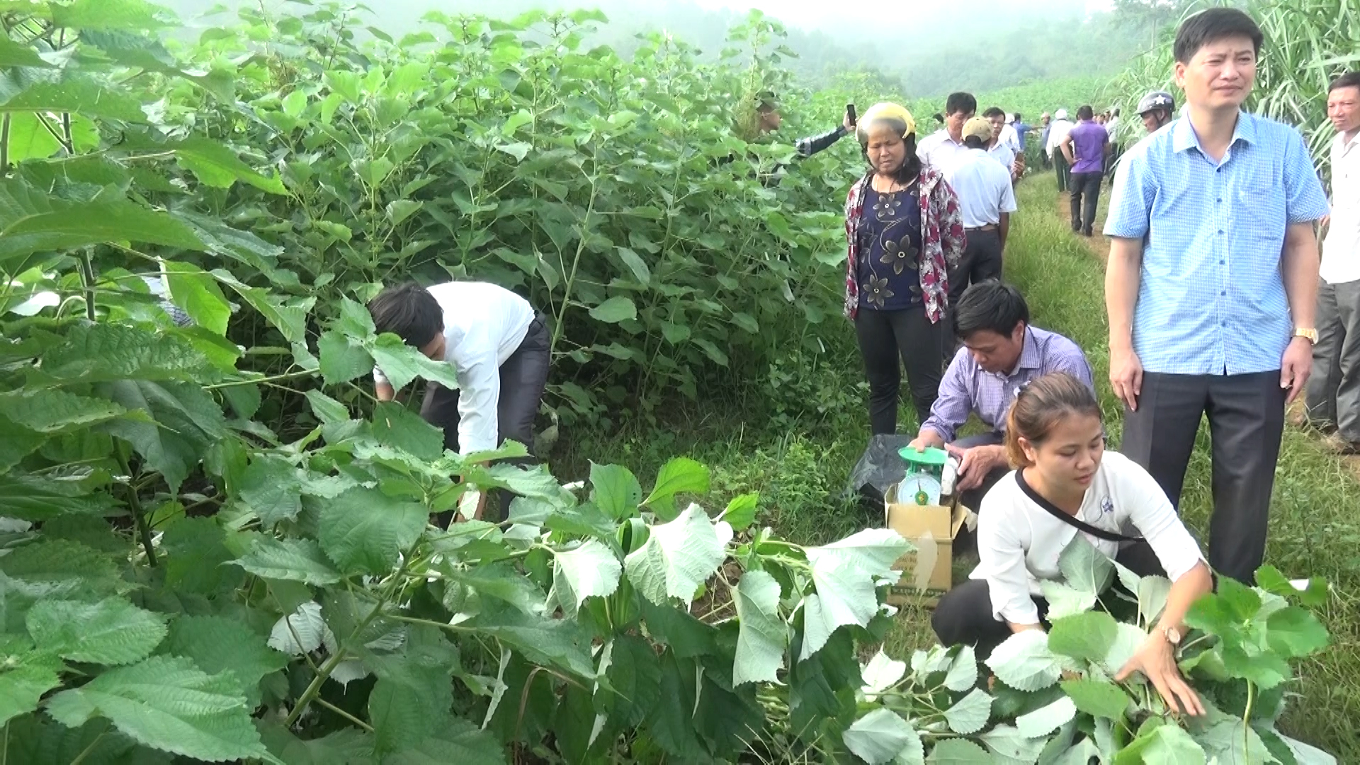 Mô hình trồng cây gai Xanh mang lại hiệu quả kinh tế cao cho người dân huyện Cẩm Thủy