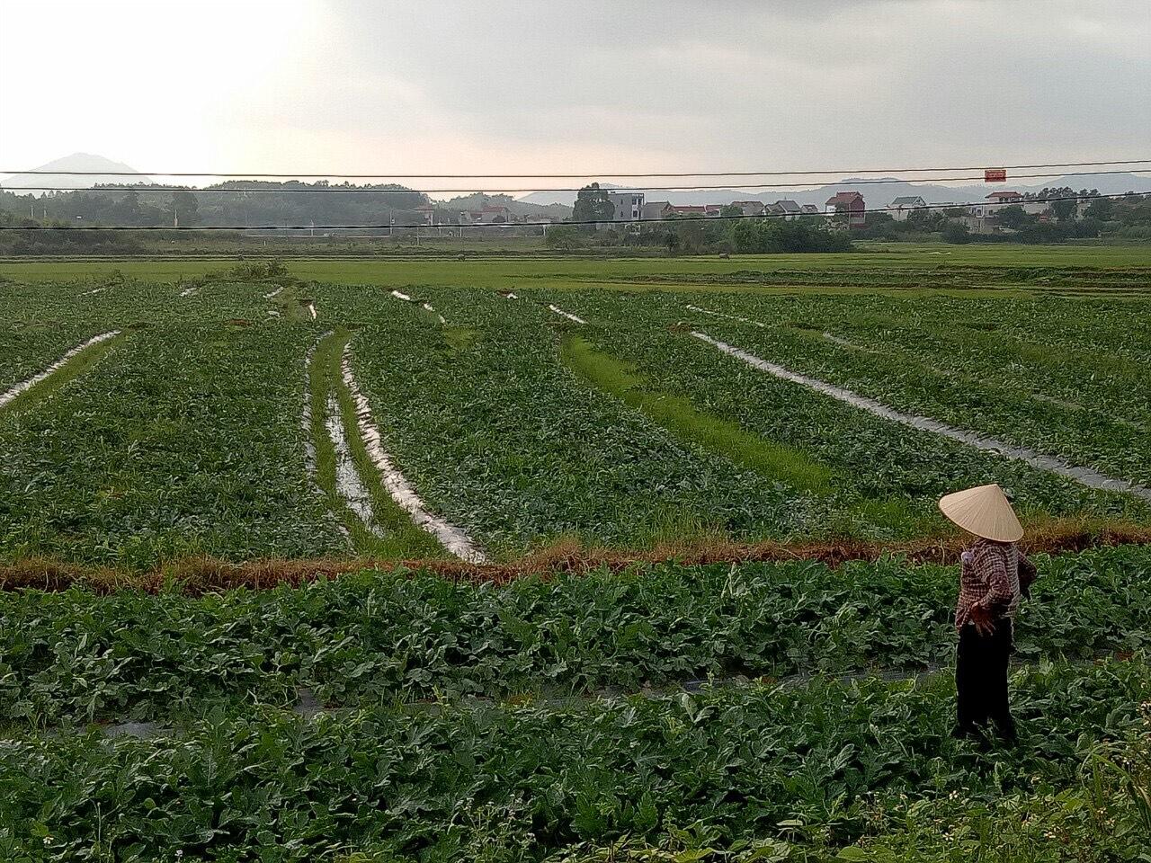 Vùng sản xuất rau màu tại thôn Nghè 3, xã Tiên Nha.