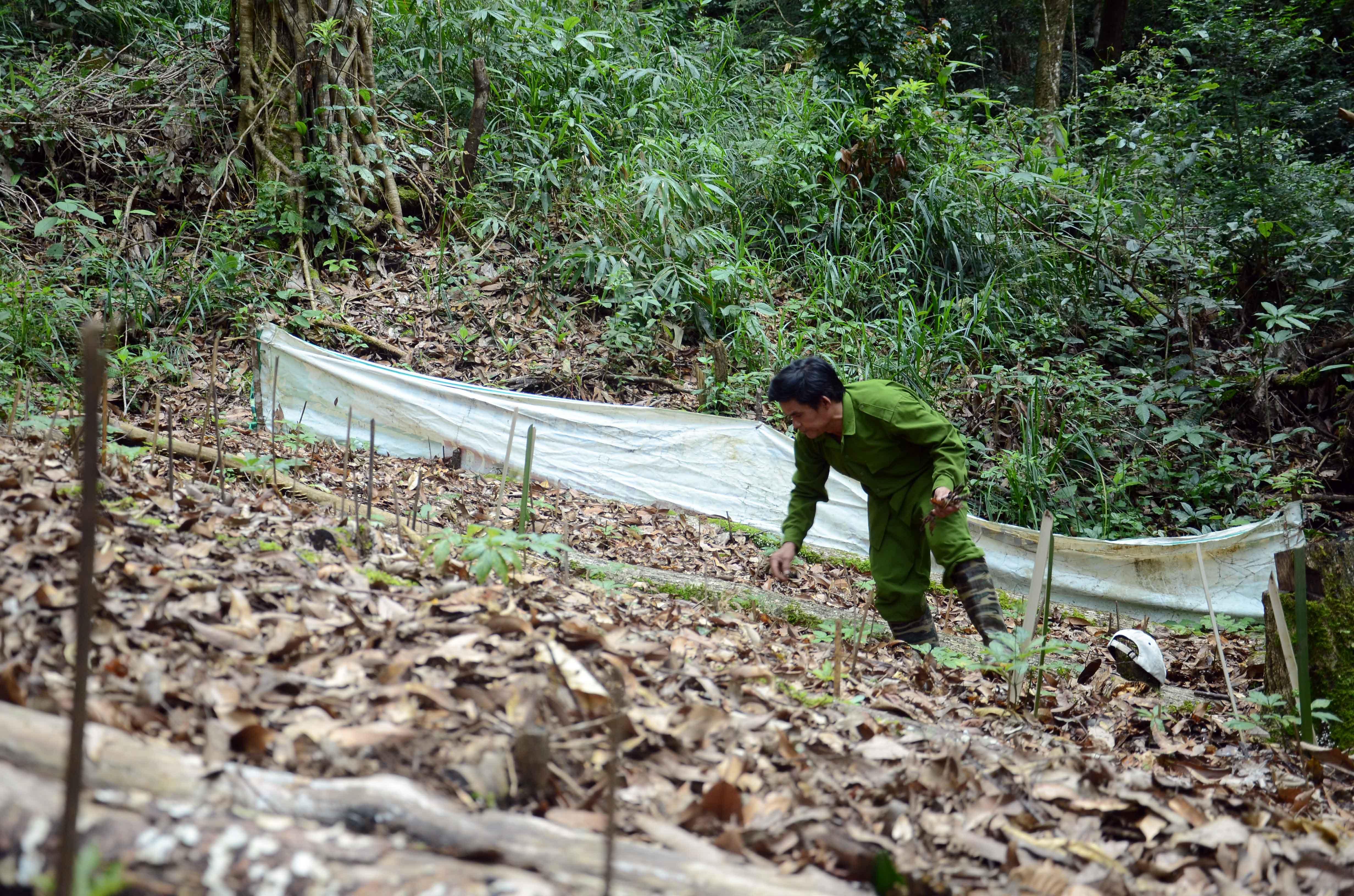 Người dân nhận chăm sóc dược liệu cho doanh nghiệp trồng sâm