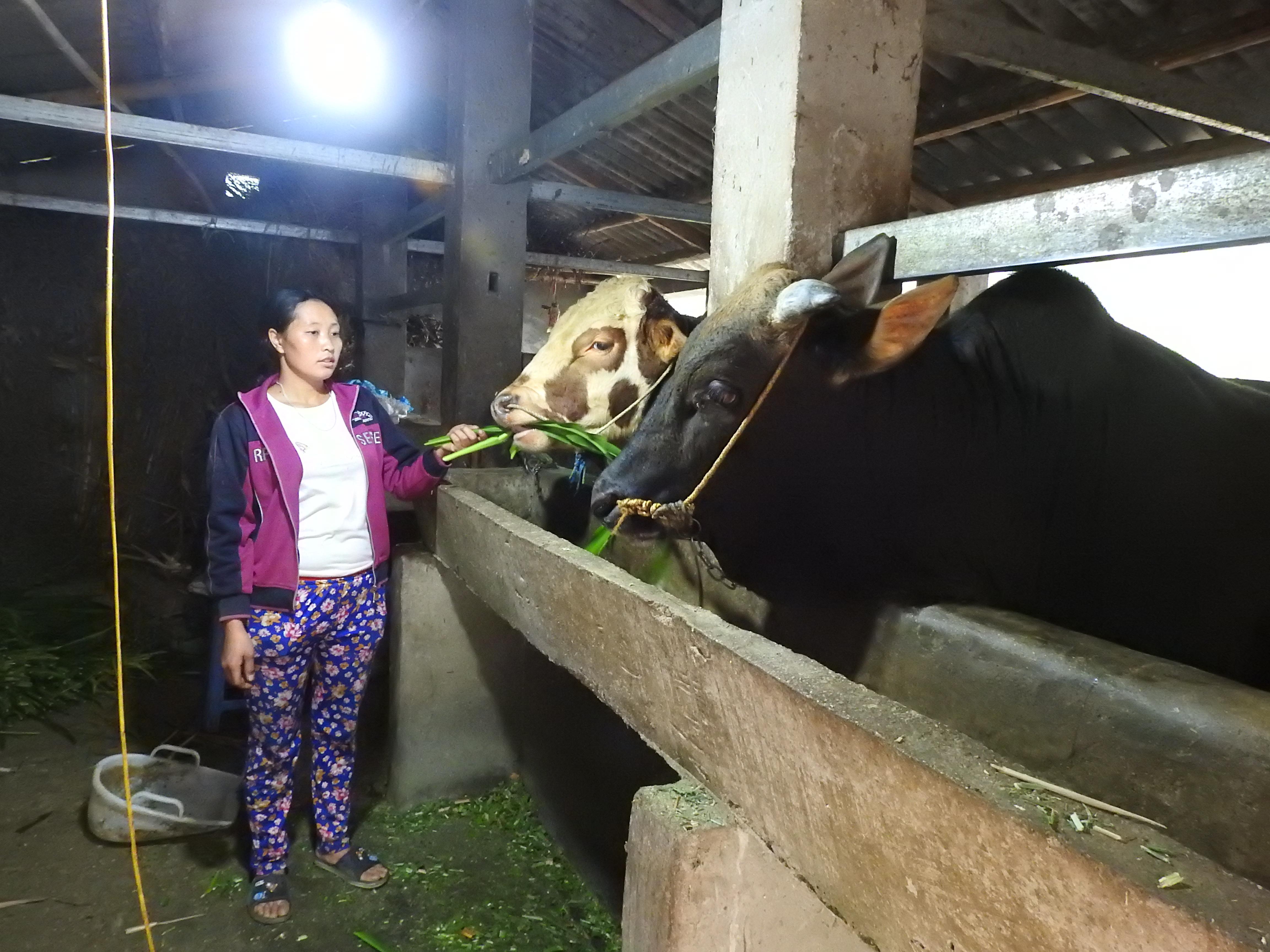 Vợ anh Sùng Mí Sính, xã Pả Vi chăm sóc đàn bò của gia đình
