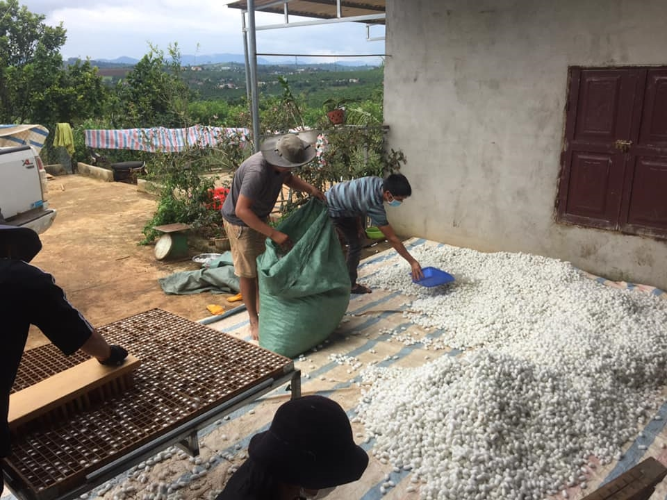 Người nông dân thu hoạch tơ tằm