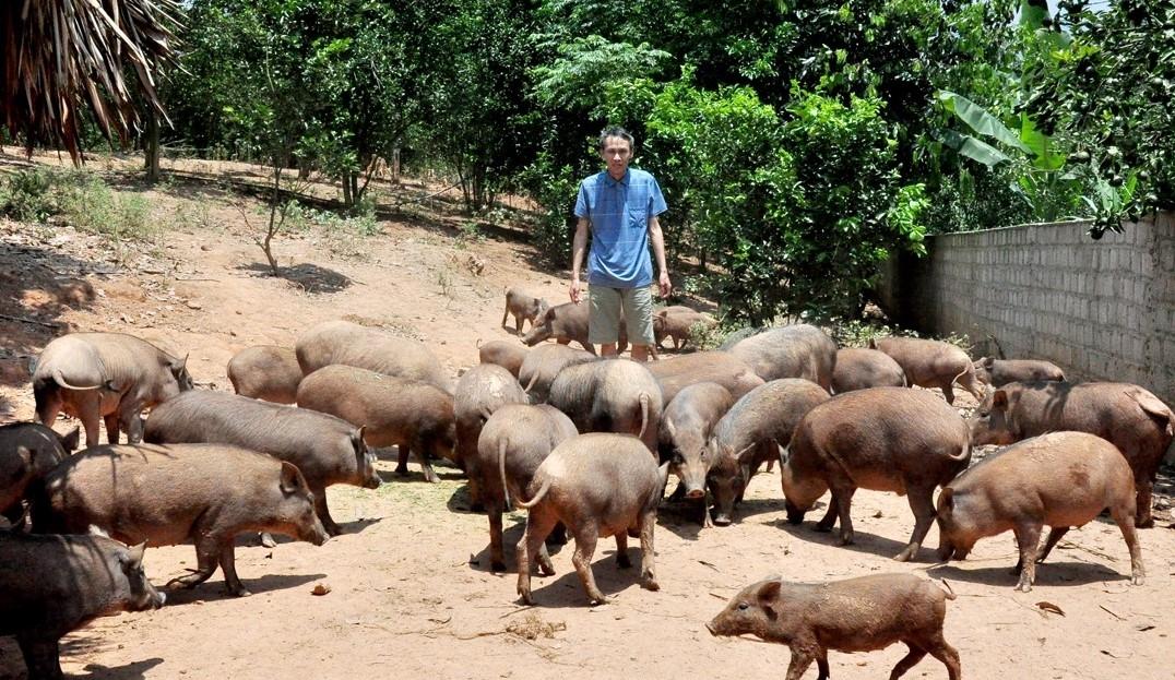 Lợn đặc sản đang mở hướng đi đúng cho người chăn nuôi